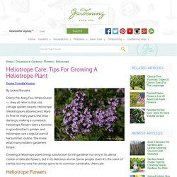 Info On Heliotrope Flowers – How To Grow Heliotrope And Heliotrope Care