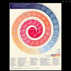 Infographie animée. Neuf mois pour devenir un être humain