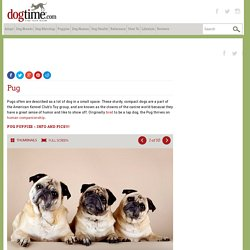 Pug Dog Breed Information, Pictures, Characteristics & Facts – Dogtime