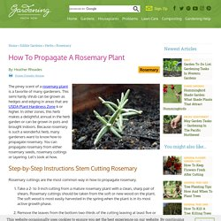 Information On Rosemary Plant Propagation