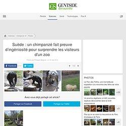 Photos - Suède: un chimpanzé fait preuve d'ingéniosité pour surprendre les visiteurs d'un zoo