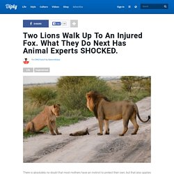 Two Lions Walk Up To An Injured Fox. What They Do Next Has Animal Experts SHOCKED.