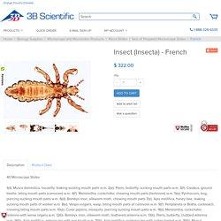 Insectes, série élémentaire grossie - Français - Joh. LIEDER GmbH & Co. - 73300_FR - Lames microscopiques Français - 3B Scientific