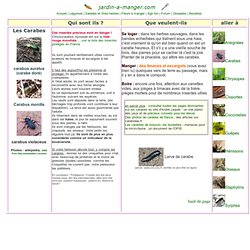 Insectes utiles au jardin bio : les carabes, carabus, dévoreurs de limaces