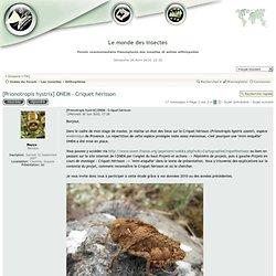 [Prionotropis hystrix] ONEM - Criquet hérisson