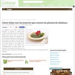 Cómo lidiar con los insectos que comen las plantas de albahaca