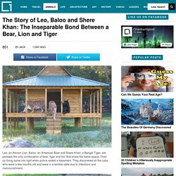 The Story of Leo, Baloo and Shere Khan: The Inseparable Bond Between a Bear, Lion and TigerOnemorepost