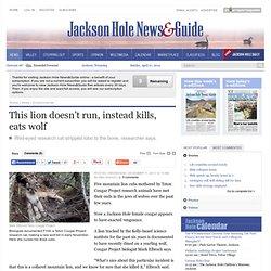 This lion doesn't run, instead kills, eats wolf - Jackson Hole News&Guide: Environmental