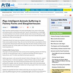 Pigs: Intelligent Animals Suffering in Factory Farms and Slaughterhouses