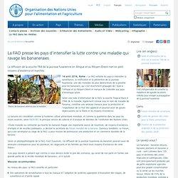 Nouvelles:La FAO presse les pays d'intensifier la lutte contre une maladie qui ravage les bananeraies