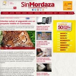 Intentan salvar al yaguareté con un proyecto inédito en Corrientes . SIN MORDAZA - 1 - 0
