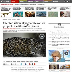 Intentan salvar al yaguareté con un proyecto inédito en Corrientes