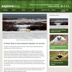 A Polar Bears International Update on Ursula
