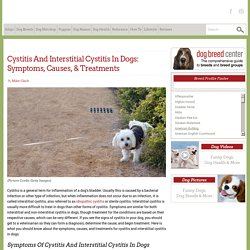 Cystitis And Interstitial Cystitis In Dogs: Symptoms, Causes, & Treatments - Dogtime