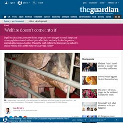 The price of bacon: Jon Henley investigates industrial-scale pig