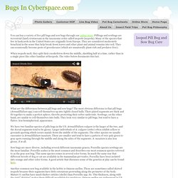 Isopod Pill Bug and Sow Bug Info and Care