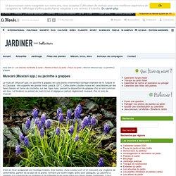 Muscari (Muscari spp.) ou jacinthe à grappes : fleur, plantation, entretien