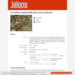 La culture industrielle des roses au Kenya