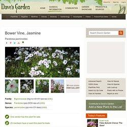 Bower Vine, Jasmine Pandorea jasminoides