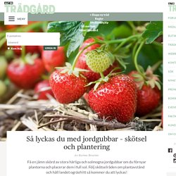 Så lyckas du med jordgubbar – skötsel och plantering – Allt om Trädgård