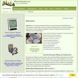 Kalanchoe Pflege - Pflanzenfreunde