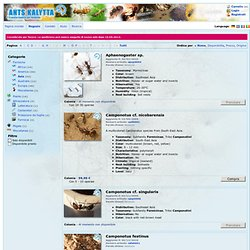 Ants Kalytta Vendita formiche Online - Asia