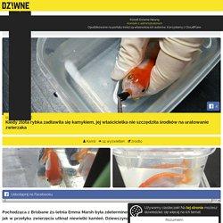 Kiedy złota rybka zadławiła się kamykiem, jej właścicielka nie szczędziła środków na uratowanie zwierzaka - Dziwne Newsy