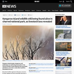 Kangaroo Island wildlife still being found alive in charred national park, as livestock loss revealed