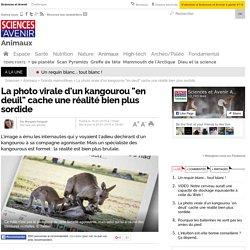 """La photo virale d'un kangourou """"en deuil"""" cache une réalité bien plus sordide"""