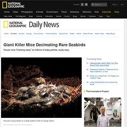 Giant Killer Mice Decimating Rare Seabirds