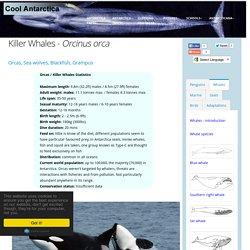 Killer whale - Orcinus orca in Antarctica