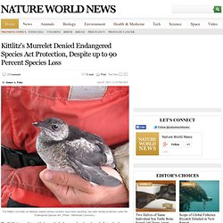 Kittlitz's Murrelet Denied Endangered Species Act Protection, Despite up to 90 Percent Species Loss