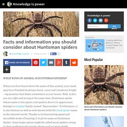 Knowledge is power - Facts and information you should consider about Huntsman spiders