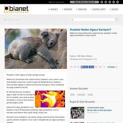 Koalalar Neden Ağaca Sarılıyor? - bianet