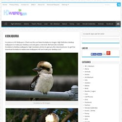Kookaburra HD Wallpapers