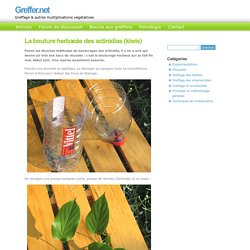 La bouture herbacée des actinidias
