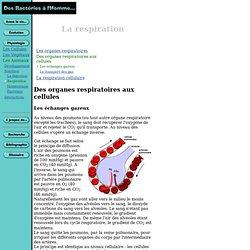 La Respiration : De l'organe à la cellule