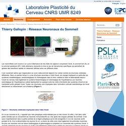 Laboratoire Plasticité du Cerveau CNRS UMR 8249 : Thierry Gallopin: Réseaux Neuronaux du Sommeil
