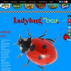 Ladybug Life Cycle – Kids Growing Strong