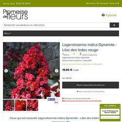 Lagerstroemia indica Dynamite - Lilas des Indes - Lilas d'été - Arbuste estival aux fleurs rouge cerise