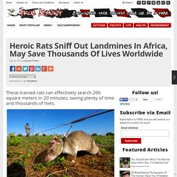 Heroic Rats Sniff Out Landmines In Africa, May Save Thousands Of Lives Worldwide