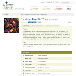 Lantana Bandito™ (Lantana camara)