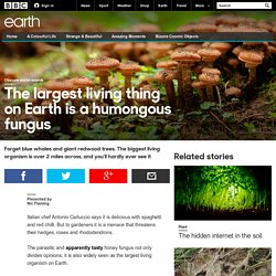 Earth - The largest living thing on Earth is a humongous fungus