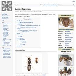 Lasius brunneus - AntWiki