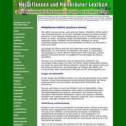 Lattich (Lactuca virosa)