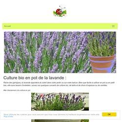 lavande en pot : plantation : culture bio : taille : variétés