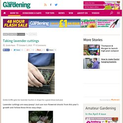 Taking lavender cuttings - Amateur Gardening