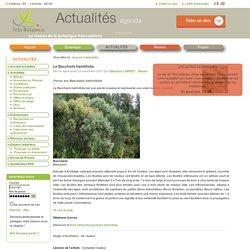 Le Baccharis hamilifolia
