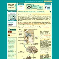 Le noyau suprachiastiq & la glande pinéale