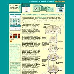 les neurones pyramidaux/voies cortico-spinales